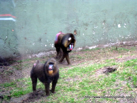 Buenos Aires City Zoo:  Baboon things Image