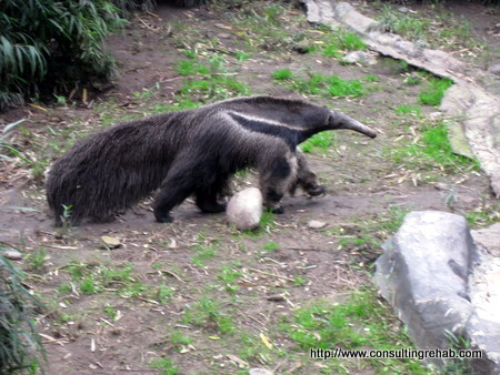 Buenos Aires City Zoo:  Anteater thing 2 Image