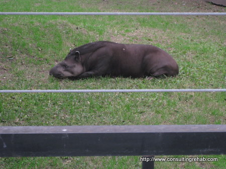 Buenos Aires City Zoo:  Tapir Image