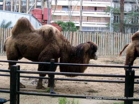 Buenos Aires City Zoo:  Flaccid Camel Image