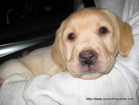 Yellow-lab-puppy-face-image