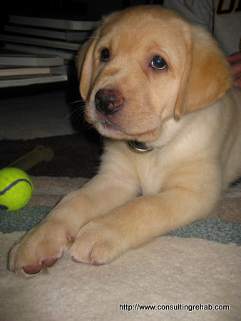 Yellow-lab-puppy-alert image