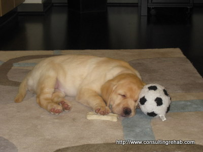 Daphne yellow lab puppy asleep image