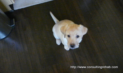 Daphne yellow lab puppy image